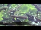 Brook Trout Fish Farm