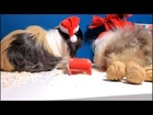 Funny Animals Christmas holidays.Guinea pigs Merry Christmas !