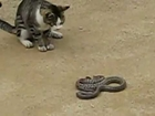 Cat vs dangerous snake