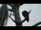 SW Florida Eagles_Hope Eating Squirrel-Her First Carry Part 1 4-22-13